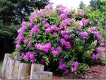 Rhododendron in British Columbia