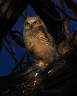 Owl in Lincoln, Nebraska
