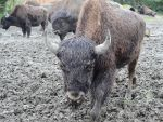 Bison in Mud
