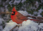 Pretty cardinal in Lincoln, Nebraska