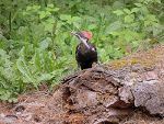 Pileated Woodpecker in Washington