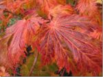 Beautiful red maple leaf in Canada