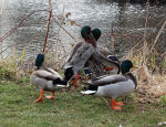 Mallards in Brough East Yorkshire