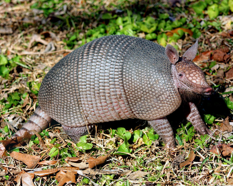 Nature Pic of the Day - 20130625 - Nine Banded Armadillo