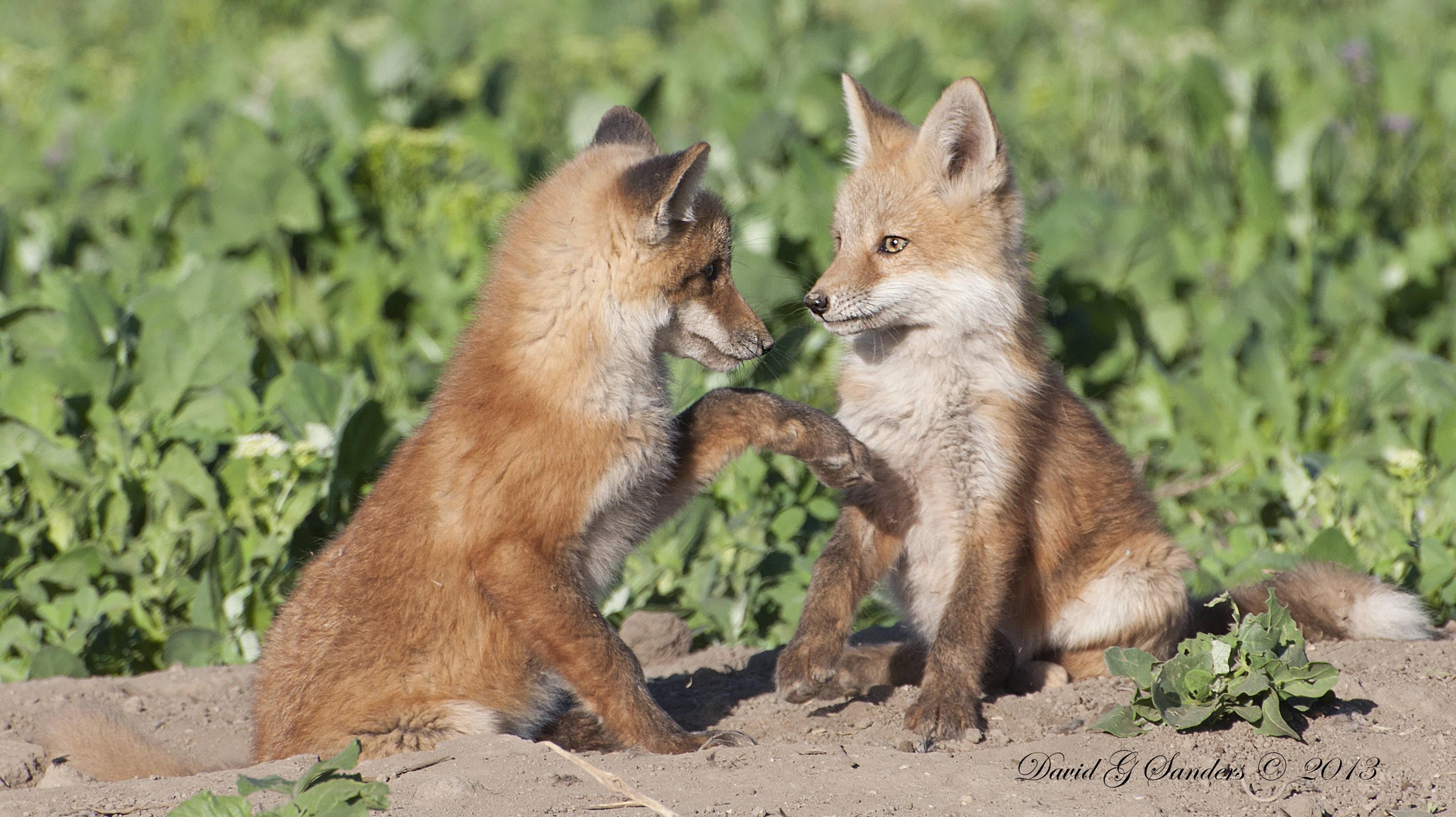 Cute Red Fox Pups | Car Interior Design