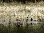 Mallards in a pond