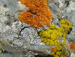 Lichen in the Alborz Mountains, Tehran
