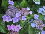 Lacecap Hydrangea in British Columbia