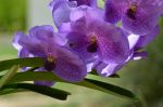 Purple Brazilian flowers