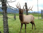Bull Elk in a game preserve