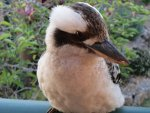 Kookaburra in Australia during the winter