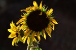 Mature Sunflower