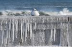 A seagull on an ice covered sea wall in Rhode Island.