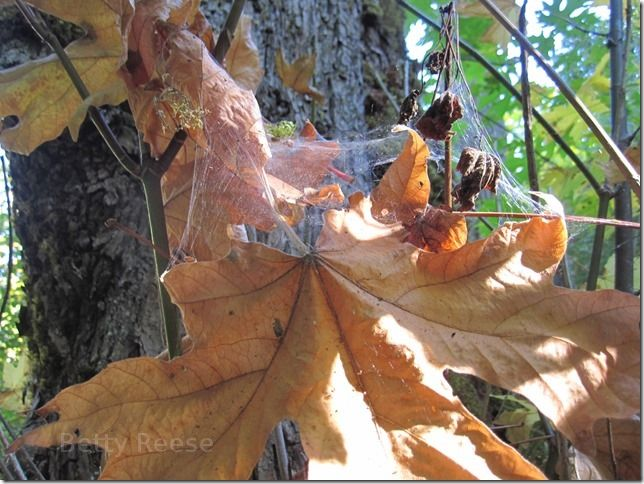 Spider web and Autumn leaf in Cowichan Bay, BC