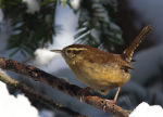 Carolina Wren in Lincoln, Nebraska