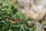 Croatian Grasshopper