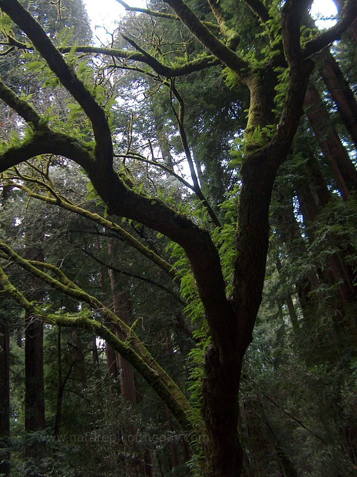 Redwoods and ferns