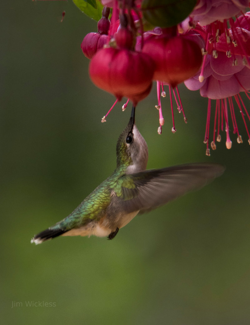 A hummingbird drinking from a flower.