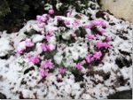 Snow on the Cyclamen from Yesterday