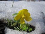 Flower blooming in the snow