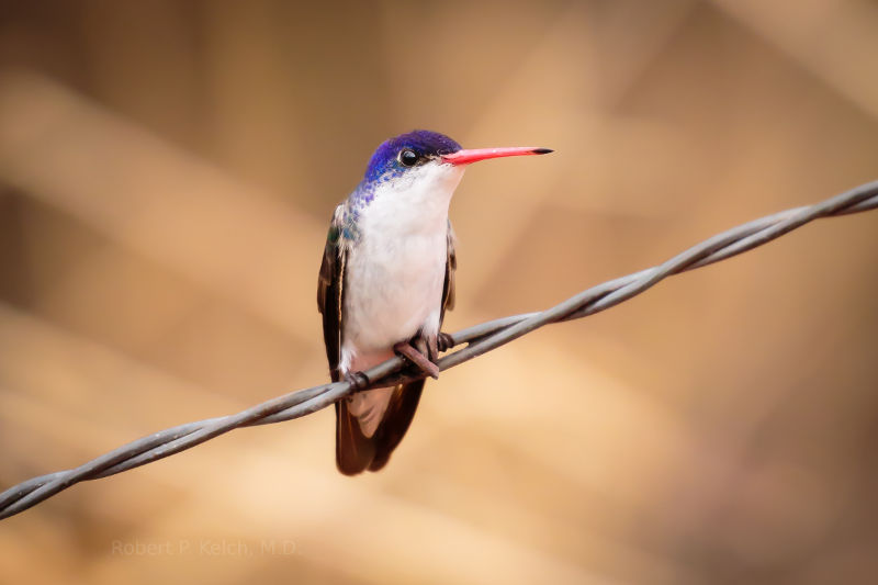 Hummingbird on a barb wire fence.