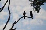 Brazilian birds Silhouetted on a branch