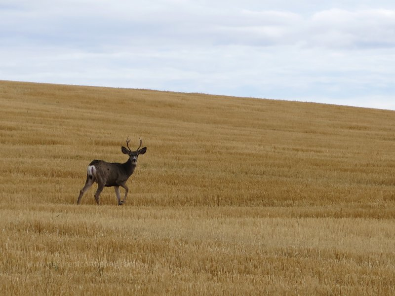 Buck in Idaho