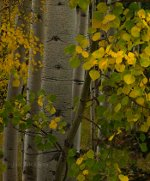 Fall leaves on Aspen trees
