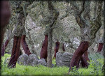 Cork Trees in Budduso, Province of Olbia, Sardinia, Italy