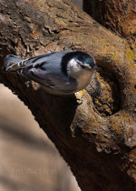 Nuthatch in Nebraska