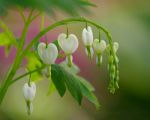 Macro shot of bleeding hearts near Lincoln, Nebraska