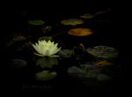Water lily and leaves floating on water