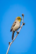 Verdin bird in AZ