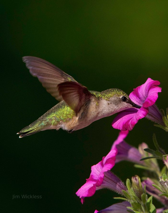 hummingbird in Maine