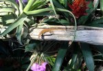 Lizard in the Reptile Gardens
