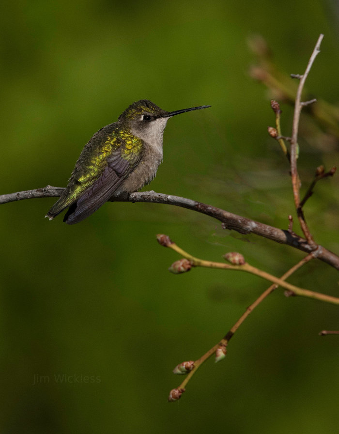 A hummingbird sits still in Lincolnville, Maine.