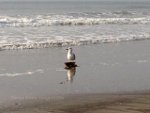 Seagull on the beach near Avalon, NJ