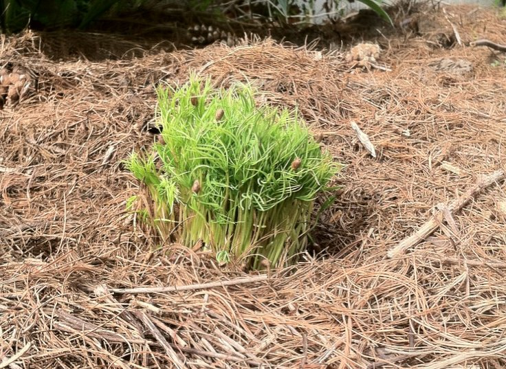 A lot of white pine seedlings growing in a bunch.
