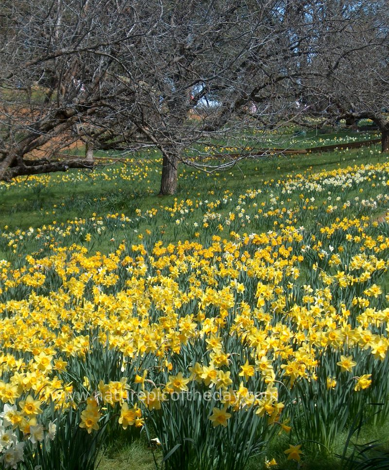 Daffodil Hill in California