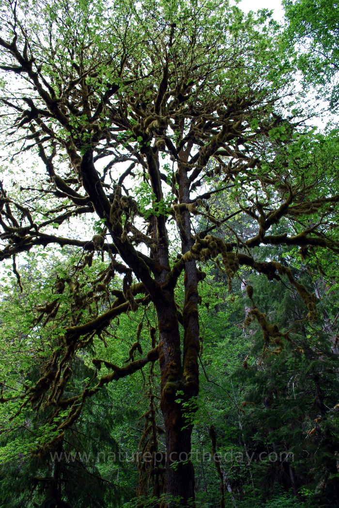 Tree On the Olympic Peninsula