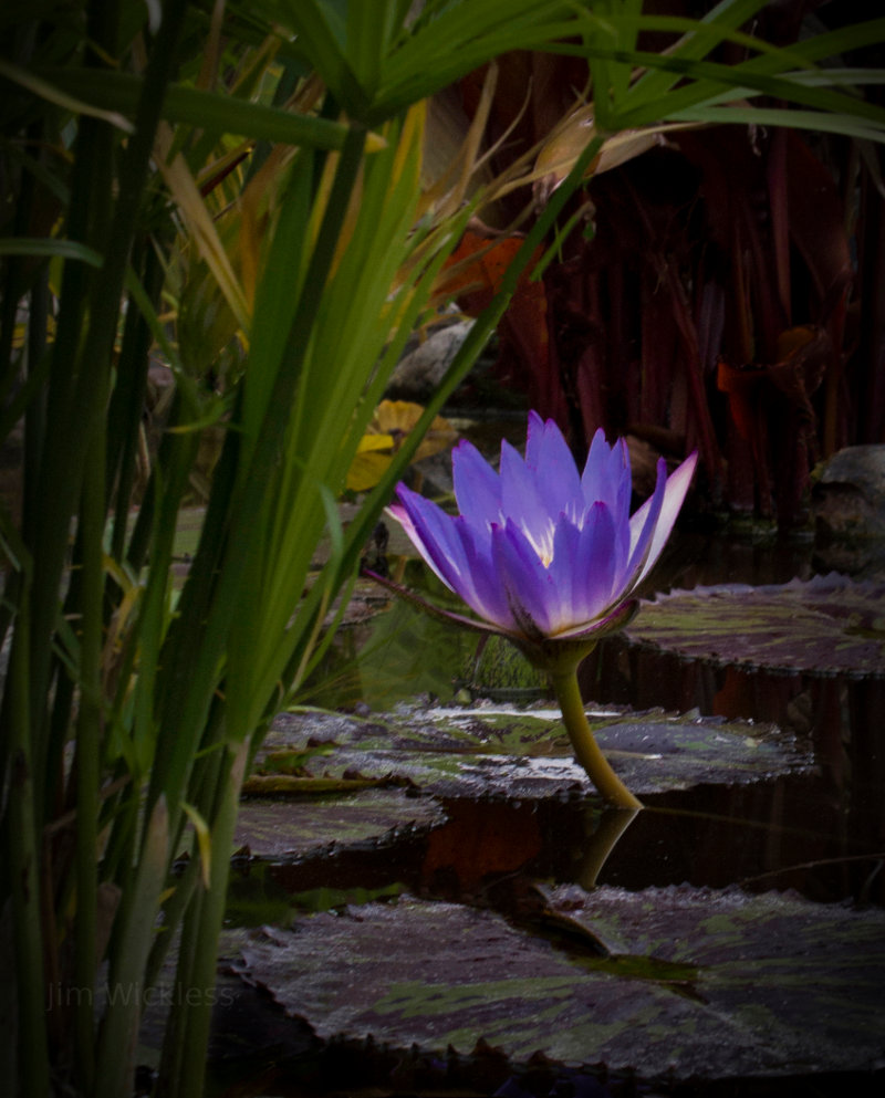 A beautiful water lily grows near Lincoln, Nebraska