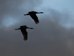 Sandhill Cranes fly in Nebraska