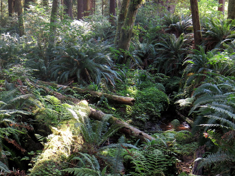 Ferns in Washington State