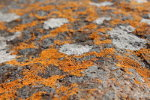 Orange lichen in Macro