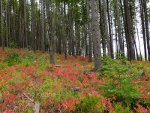 Christmas Tree Hunting in Montana
