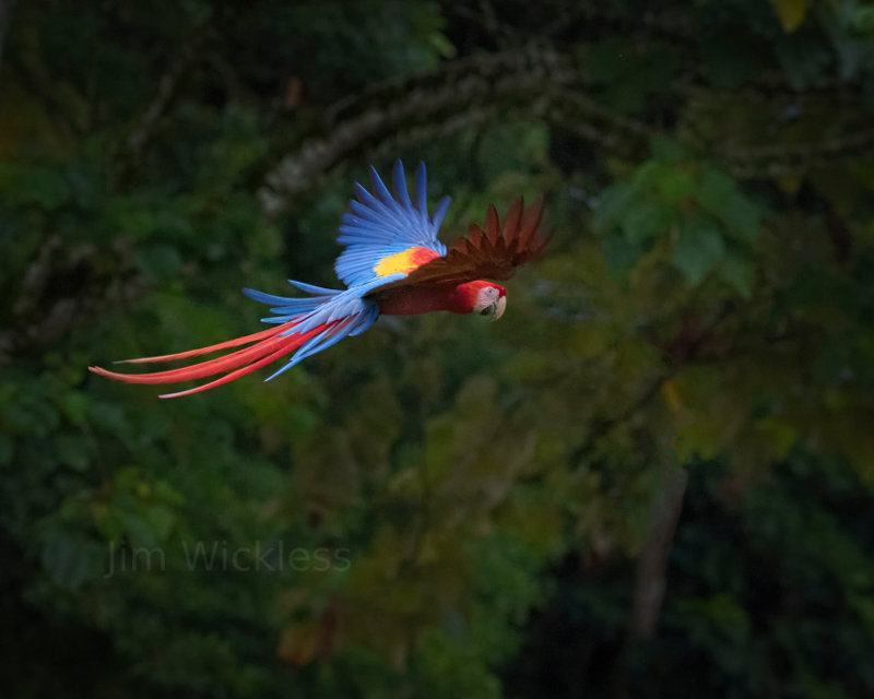 Macaw in Central Costa Rica