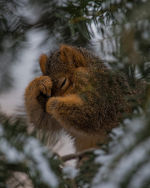 Squirrel sheltering from the snow