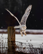 Snowy Owl in Barrie Ontario Canada