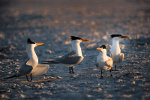 Royal Terns in Florida