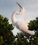 Egret in Sarasota, Florida